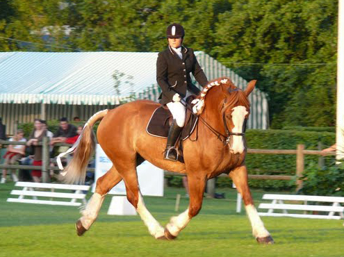 cheval de trait en dressage